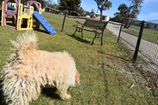 Snedley-Schnoodle-Banksia Park Puppies - 43 of 62