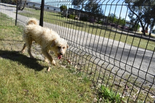 Snedley-Schnoodle-Banksia Park Puppies - 44 of 62