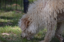 Snedley-Schnoodle-Banksia Park Puppies - 47 of 62