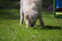 Snedley-Schnoodle-Banksia Park Puppies - 48 of 62