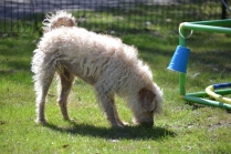 Snedley-Schnoodle-Banksia Park Puppies - 52 of 62
