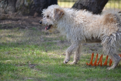 Snedley-Schnoodle-Banksia Park Puppies - 56 of 62