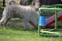 Snedley-Schnoodle-Banksia Park Puppies - 57 of 62