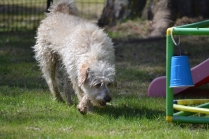 Snedley-Schnoodle-Banksia Park Puppies - 58 of 62