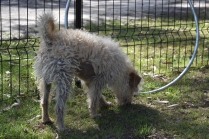 Snedley-Schnoodle-Banksia Park Puppies - 6 of 62