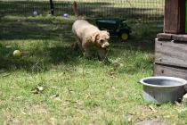 Ashton-Poodle-Banksia Park Puppies - 1 of 20