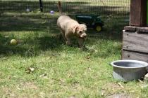 Ashton-Poodle-Banksia Park Puppies - 1 of 20