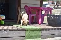 Ashton-Poodle-Banksia Park Puppies - 10 of 20