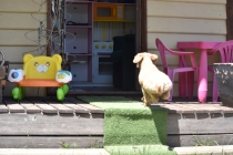 Ashton-Poodle-Banksia Park Puppies - 12 of 20