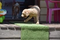 Ashton-Poodle-Banksia Park Puppies - 13 of 20