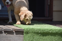 Ashton-Poodle-Banksia Park Puppies - 14 of 20
