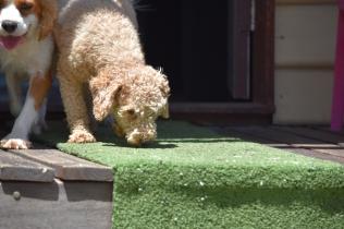 Ashton-Poodle-Banksia Park Puppies - 15 of 20