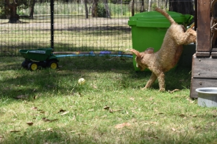 Ashton-Poodle-Banksia Park Puppies - 16 of 20