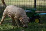Ashton-Poodle-Banksia Park Puppies - 17 of 20