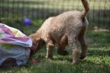Ashton-Poodle-Banksia Park Puppies - 18 of 20