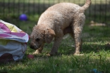 Ashton-Poodle-Banksia Park Puppies - 19 of 20