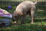 Ashton-Poodle-Banksia Park Puppies - 19 of 20