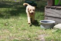 Ashton-Poodle-Banksia Park Puppies - 2 of 20