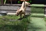Ashton-Poodle-Banksia Park Puppies - 20 of 20