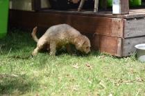 Ashton-Poodle-Banksia Park Puppies - 3 of 20