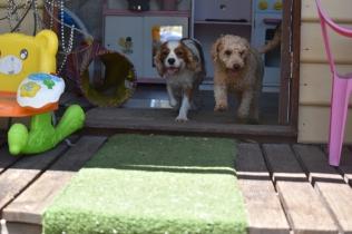 Ashton-Poodle-Banksia Park Puppies - 4 of 20