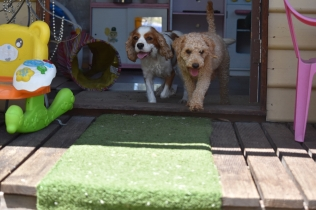 Ashton-Poodle-Banksia Park Puppies - 5 of 20