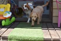 Ashton-Poodle-Banksia Park Puppies - 6 of 20