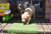 Ashton-Poodle-Banksia Park Puppies - 7 of 20