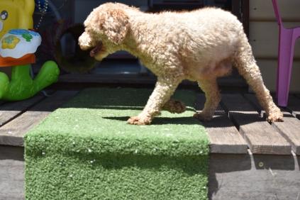 Ashton-Poodle-Banksia Park Puppies - 8 of 20