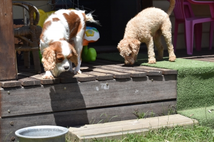 Shimmer-Cavalier-Banksia Park Puppies - 15 of 21