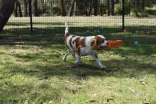 Shimmer-Cavalier-Banksia Park Puppies - 18 of 21