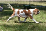 Shimmer-Cavalier-Banksia Park Puppies - 19 of 21