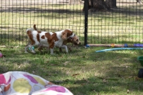Shimmer-Cavalier-Banksia Park Puppies - 2 of 21