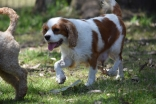 Shimmer-Cavalier-Banksia Park Puppies - 21 of 21