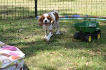 Shimmer-Cavalier-Banksia Park Puppies - 3 of 21