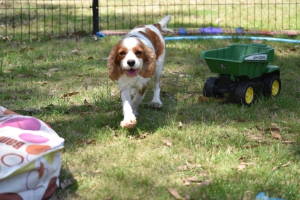 Shimmer-Cavalier-Banksia Park Puppies - 4 of 21