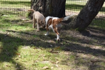 Shimmer-Cavalier-Banksia Park Puppies - 5 of 21