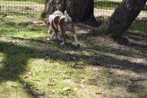 Shimmer-Cavalier-Banksia Park Puppies - 6 of 21