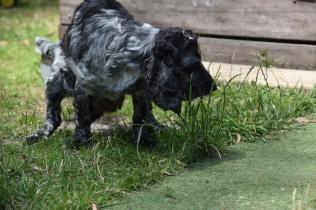 Shorty-Cocker Spaniel-Banksia Park Puppies - 11 of 37