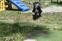 Shorty-Cocker Spaniel-Banksia Park Puppies - 13 of 37