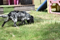 Shorty-Cocker Spaniel-Banksia Park Puppies - 17 of 37