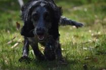 Shorty-Cocker Spaniel-Banksia Park Puppies - 2 of 37