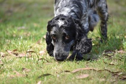 Shorty-Cocker Spaniel-Banksia Park Puppies - 20 of 37