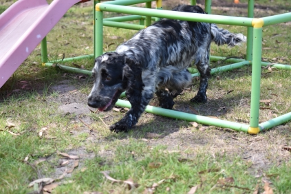 Shorty-Cocker Spaniel-Banksia Park Puppies - 23 of 37