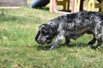 Shorty-Cocker Spaniel-Banksia Park Puppies - 24 of 37