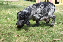 Shorty-Cocker Spaniel-Banksia Park Puppies - 25 of 37