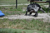 Shorty-Cocker Spaniel-Banksia Park Puppies - 27 of 37