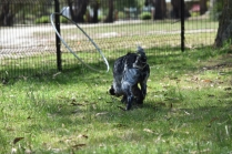 Shorty-Cocker Spaniel-Banksia Park Puppies - 3 of 37