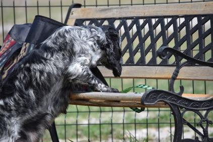 Shorty-Cocker Spaniel-Banksia Park Puppies - 30 of 37