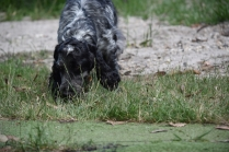 Shorty-Cocker Spaniel-Banksia Park Puppies - 31 of 37